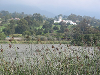 Serene scene: Reeds at the lagoon, with Montecito Country Club in the background.
