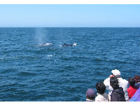 The Condor Express takes you from Santa Barbara Harbor out to see blue gray and humpback whales!