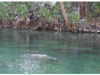 A manatee comes up for air, on a winter day.