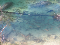 You can see manatees and fish galore in the clear water during winter.