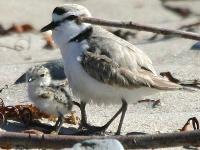 Snowy Plover chick with parent, at Coal Oil Point.