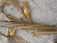Kelp on Port Hueneme Beach.