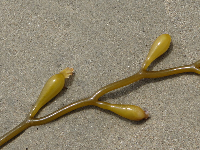 Kelp on the sand.