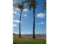 Grassy lawn and shade from coconut trees at Kuilima Cove.