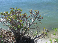 Elephant's ear plant perched on a cliff over the water.