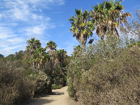 A cluster of California palms on the path back from the beach.