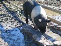 Pig blowing bubbles in the water.