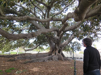 A visitor takes in the grandeur of the tree.