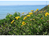 Yellow daisies, sea, and island.