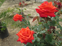 Orange-red roses in the presidio's courtyard.