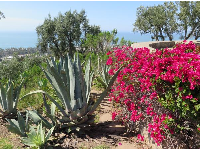 Dark pink bougainvillea and cactus, overlooking the sea.