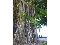 The regal banyan tree near the Duke statue.