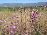 Purple flowers with mountains behind.