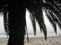Canary palm above Refugio beach.