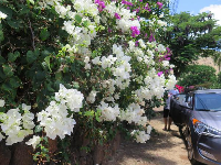 White bougainvillea near the access path.