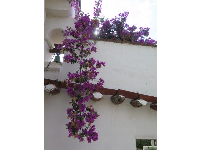 Bougainvillea delighting passersby.