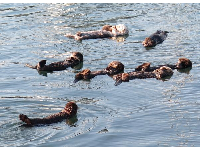 Sea otters hang out in groups.