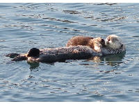 A mother and baby sea otter.