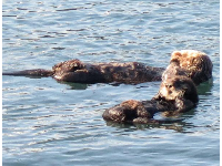 Sea otters have such cute faces.