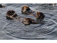 Sea otters always have a circle in the water they've created.