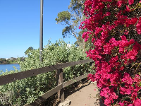Dark pink bougainvillea on the path that winds around the lagoon from Campus Point Beach to the San Nicolas Residence Hall.