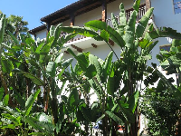 Banana trees in front of a Spanish balcony.