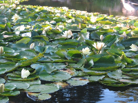 Water lilies in June.