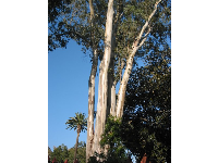 See the very tall palm behind the eucalyptus to fathom just how tall this eucalyptus is!
