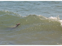 A seal in the water at Goleta Beach, as seen from the rocky cliffs on the western end of the beach.