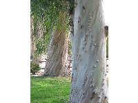 The marvelous eucalyptus trees on campus.