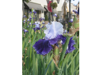 An abundance of purple irises.