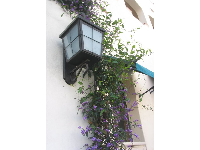 Purple flowering vines and Spanish lanterns at Paseo Chapala.