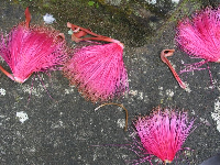 The hot pink flowers of the Pink Shaving Brush Tree! These are stunning!