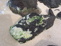 The seaweed on the rocks that the turtles come to eat.