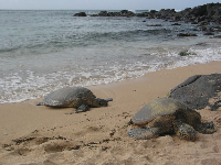 There were four turtles on the beach one day I was there! These are the younger two- about thirty years old. Most turtles live to be 70.