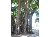 The Banyan tree outside Waikiki Aquarium.