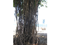The beautiful Banyan tree between Hau Tree Beach and Waikiki Aquarium.