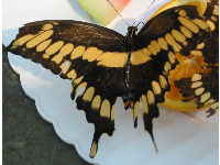 Tiger Swallowtail butterfly.