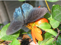 A lovely blue Pipevine Swallowtail butterfly.