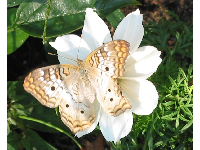 A Variegated Fritillary butterfly spread out on a white flower.