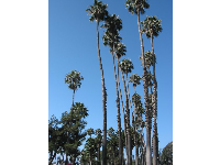 1,200 Mexican fan palms were planted along the Cabrillo bike path.