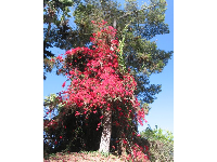 Tree covered in bougainvillea.