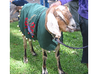 Christmas rein-goat at Stow House.