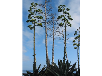 Exotic cactus plants reach up to the sunny California sky.