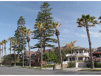 Australian pine trees and mansions along Ocean Blvd.