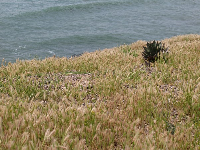 Grasses and cactus beside the sea, at the lookout point at the bottom of Cabrillo Road.