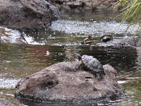 Turtles on the west side of the mall.
