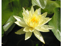 Waterlily in the main pond.