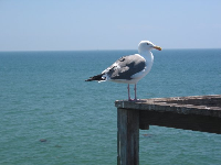 A lone seagull contemplates the life by the sea...