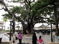 The Indian Banyan tree that adds a magical aura to the Moana Surfrider Hotel.